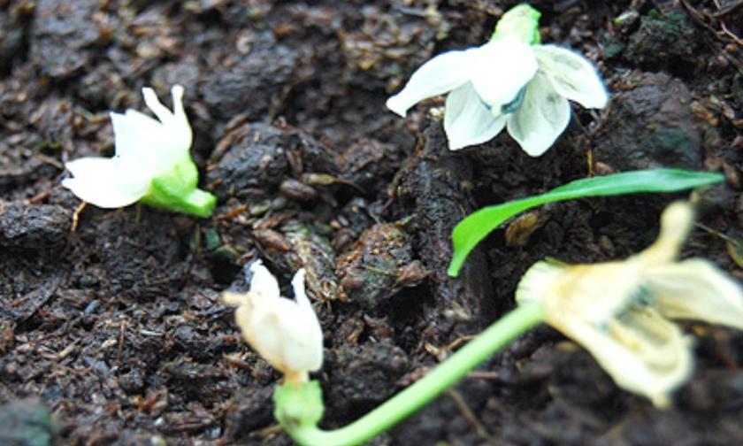 Inilah Beberapa Penyebab Bunga Rontok dan Cara Mengatasinya
